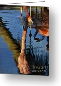 Drinking Water Greeting Cards - Flamingo Reflections 2 Greeting Card by Dave Dilli