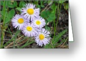Mark Lehar Greeting Cards - Fleabane aka Erigeron Greeting Card by Mark Lehar