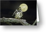 Grand Memories Greeting Cards - Fledgling Eagle by Moon Light Greeting Card by John Haldane