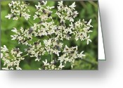Food Source Greeting Cards - Flies Feeding On A Carrot Flower Head Greeting Card by Adrian Bicker