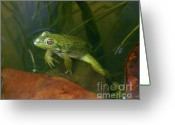 Colorado Creatures Greeting Cards - Floating Frog Greeting Card by Crystal Garner