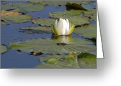 Lilly Pad Greeting Cards - Floating in the Blue Greeting Card by Kristin Osterman