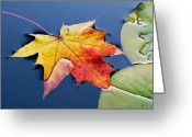 Fall Colors Greeting Cards - Floating Maple Leaf Greeting Card by Marion McCristall