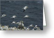 Rock Groups Greeting Cards - Flocks Of Northern Gannets Roost Greeting Card by Norbert Rosing