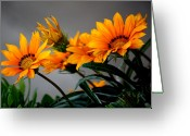 Orange Daisy Photo Greeting Cards - Floral Fireworks Greeting Card by Karen M Scovill