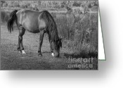 Gaited  Horse Greeting Cards - Florida Cracker Stallion Greeting Card by Lynn Palmer