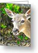 Florida Key Deer Greeting Cards - Florida Key Deer Greeting Card by Amber Bobbitt