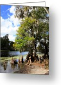Cypress Knees Greeting Cards - Florida Landscape - Lettuce Lake Greeting Card by Carol Groenen