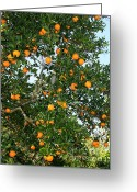 Orange And Green Greeting Cards - Florida Oranges Greeting Card by Carol Groenen