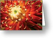 Dahlia Greeting Cards - Flower - Dahlia - Natures Radiance  Greeting Card by Mike Savad