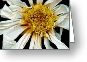 Spring Scenes Greeting Cards - Flower - Daisy - Drunken sun Greeting Card by Mike Savad