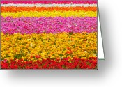 Blossoms Greeting Cards - Flower Fields Carlsbad CA Giant Ranunculus Greeting Card by Christine Till