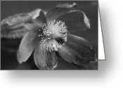 Beauty Mark Greeting Cards - Flower in Black and White Greeting Card by Mark J Seefeldt