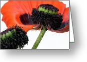 Stems Greeting Cards - Flower poppy in studio Greeting Card by Bernard Jaubert