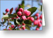 Beauty Mark Greeting Cards - Flowering Crabtree Greeting Card by Mark J Seefeldt