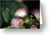 Florida Flowers Greeting Cards - Flowering Mimosa Greeting Card by Karen Devonne Douglas