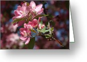 Pink Flower Branch Greeting Cards - Flowering Pink Dogwood Greeting Card by Frank Mari