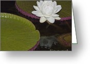 Water Bloom Greeting Cards - Flowering Victoria Lily Greeting Card by Heiko Koehrer-Wagner