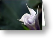 Jimson Weed Greeting Cards - Flowering Weed Greeting Card by Wanda Brandon