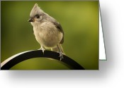 Titmouse Greeting Cards - Flowing Tufted Titmouse Greeting Card by Bill Tiepelman