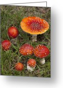 Gill Island Greeting Cards - Fly Agaric On The Little River Greeting Card by Colin Monteath