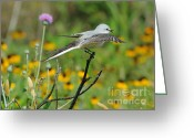 Female Animal Greeting Cards - Flycatcher With Fly Greeting Card by Robert Frederick