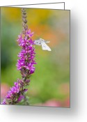 Upright Greeting Cards - Flying Butterfly Greeting Card by Melanie Viola