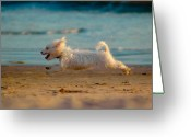 Westie Greeting Cards - Flying Dog Greeting Card by Harry Spitz