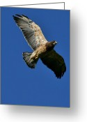 Mario Brenes Simon Greeting Cards - Flying Hawk under a blue sky Greeting Card by Mario Brenes Simon