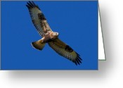 Buzzard Photo Greeting Cards - Flying High.. Greeting Card by Nina Stavlund