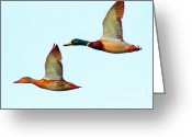 Mallards Greeting Cards - Flying Mallards Greeting Card by Wingsdomain Art and Photography