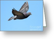 Wings Domain Greeting Cards - Flying Pigeon . 7D8640 Greeting Card by Wingsdomain Art and Photography