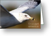 Seagull Photo Greeting Cards - Flying Seagull Closeup Greeting Card by Wingsdomain Art and Photography