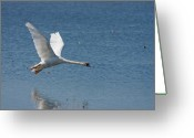 Canada Swan Greeting Cards - Flying Solo Greeting Card by Reflective Moments  Photography and Digital Art Images