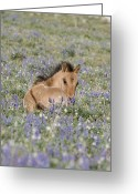 Wild Horses Greeting Cards - Foal in the Lupine Greeting Card by Carol Walker
