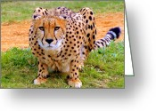 Prowling Greeting Cards - Focused Greeting Card by David Lee Thompson