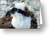 Osprey Photo Greeting Cards - Focused Greeting Card by Karen Wiles