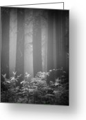 Redwood Greeting Cards - Fog And Ferns In Redwoods Forest Greeting Card by Cathy Clark aka CLCsPics