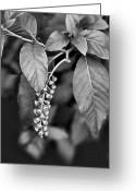 Bw Pyrography Greeting Cards - Foliage and Buds BW Greeting Card by Linda Phelps