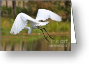 Great Egrets Greeting Cards - Follow Me Greeting Card by Carol Groenen