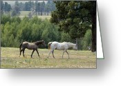 Wild Horse Greeting Cards - Follow Me Greeting Card by Ken Smith