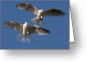 Black Kites Greeting Cards - Food Exchange 1 Greeting Card by Eric Stogner