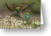Resting Animals Greeting Cards - For A Male Bee-eater, Mating Depends Greeting Card by Joe Petersburger