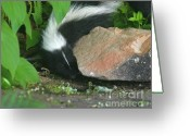 Colorado Creatures Greeting Cards - Foraging Baby Skunk Greeting Card by Crystal Garner