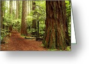 Redwood Greeting Cards - Forest Greeting Card by Les Cunliffe