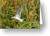 Tern Greeting Cards - Foresters Tern in Flight Greeting Card by Dennis Hammer