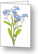 Green Leaves Greeting Cards - Forget-me-not flowers on white Greeting Card by Elena Elisseeva