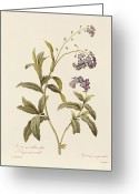 Violet Greeting Cards - Forget Me Not Greeting Card by Pierre Joseph Redoute