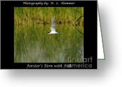 Tern Greeting Cards - Forsters Tern with Fish Greeting Card by Dennis Hammer