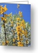 Bradford Greeting Cards - Forsythia and Bradford Pear Greeting Card by Todd A Blanchard
